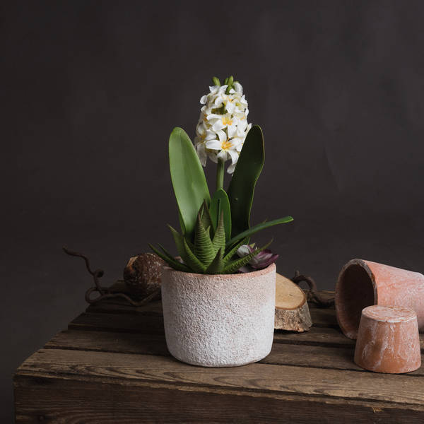 Potted White Hyacinth - Cosy Home Interiors