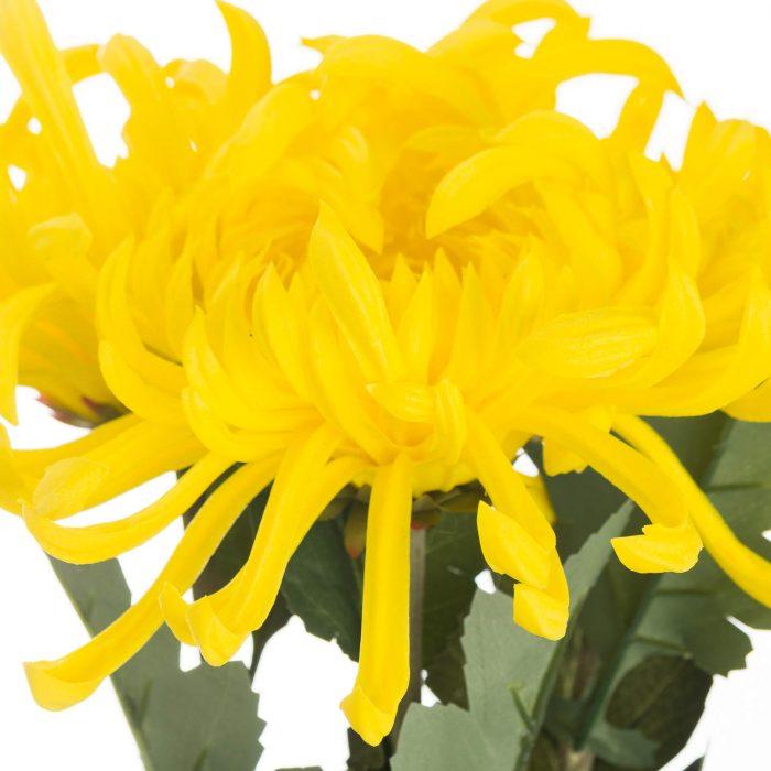 Spider Chrysanthemum Yellow - Cosy Home Interiors