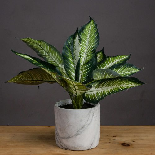 Variegated Leaf Dieffenbachia House Plant - Cosy Home Interiors