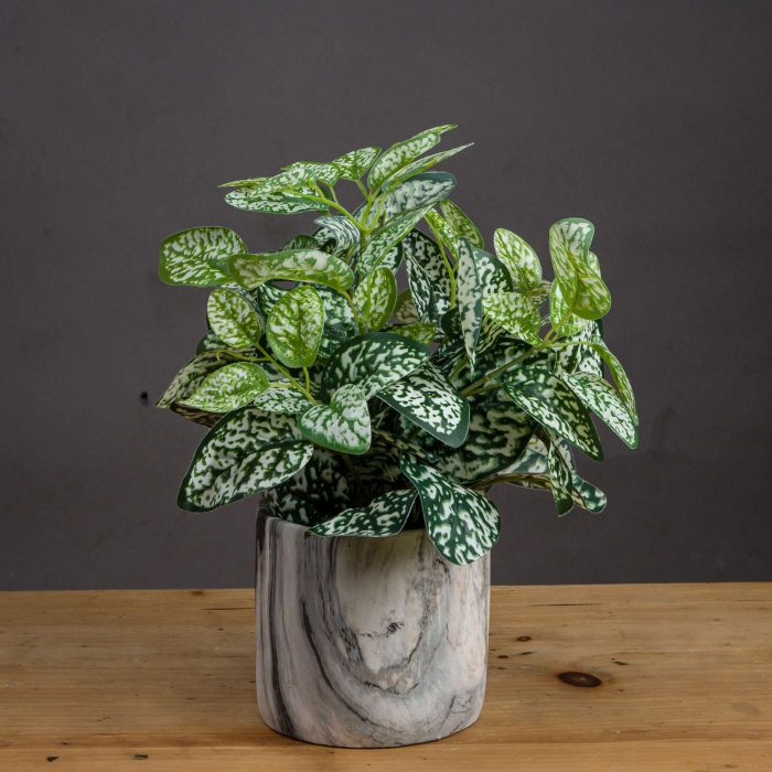 Variegated White And Green Nerve Plant - Cosy Home Interiors