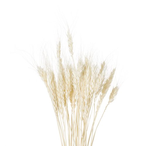 Dried White Wheat Bunch Of 20 - Cosy Home Interiors