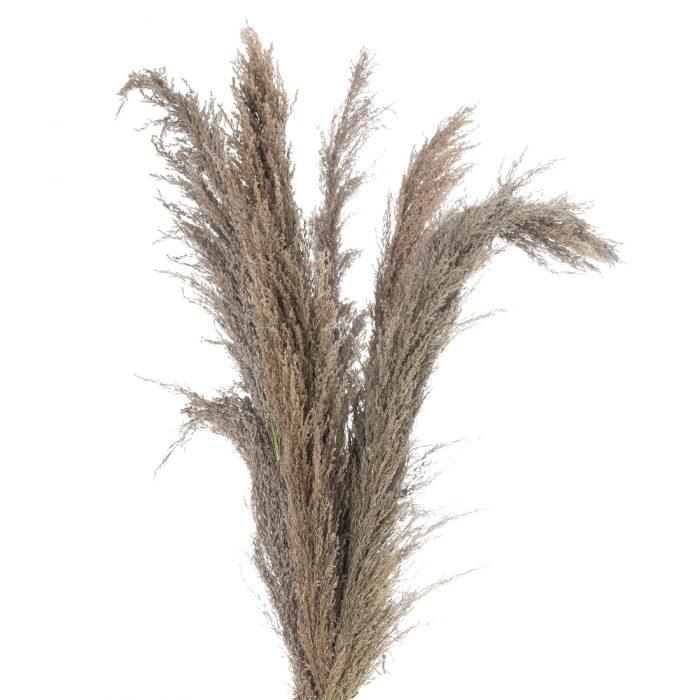 Natural Pampas Grass Stem - Cosy Home Interiors